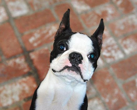 Boston Terriers Wallpapers