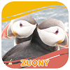 Atlantic Puffin Photo Collection