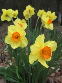4d811c281604 HD Wallpaper - Daffodils Flower - by Wallpaper Pro - Tools Category ...
