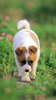 Puppy Live Wallpaper Pictures Of Cute Puppies