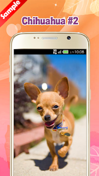 Chihuahua wallpaper by pinza entertainment category 16 reviews chihuahua wallpaper voltagebd Images